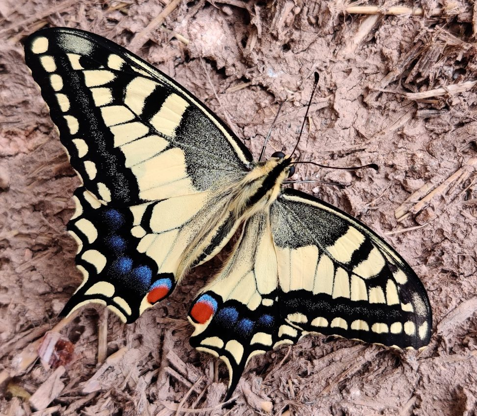 A real live butterfly, captured this shot one evening on a dog walk.